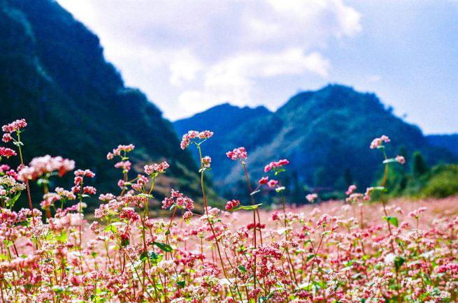 Buckwheat flower Ha Giang
