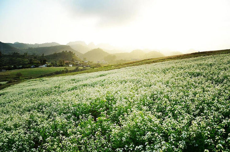 White mustard flower Moc chau
