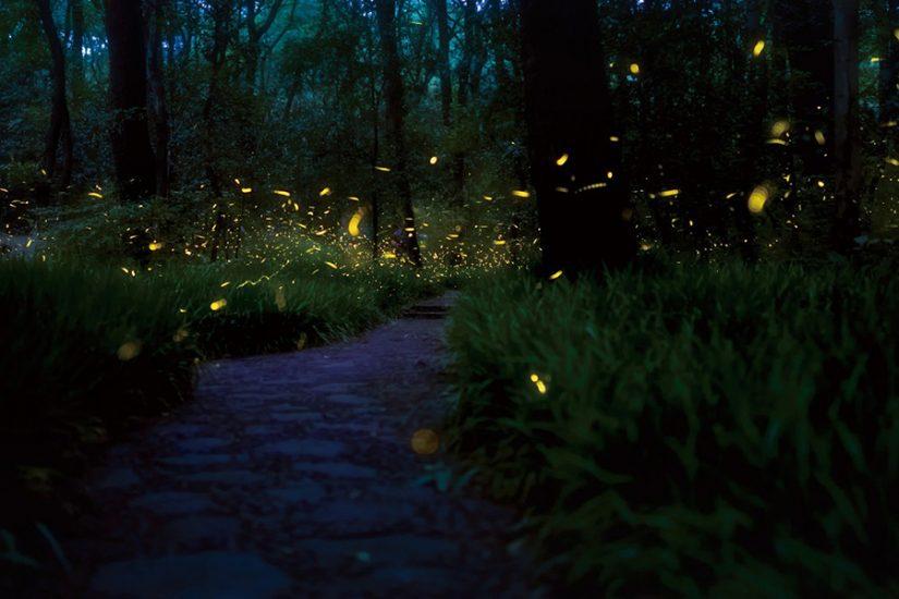 Vietnam fireflies